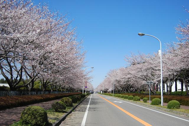 土浦近辺おススメ桜