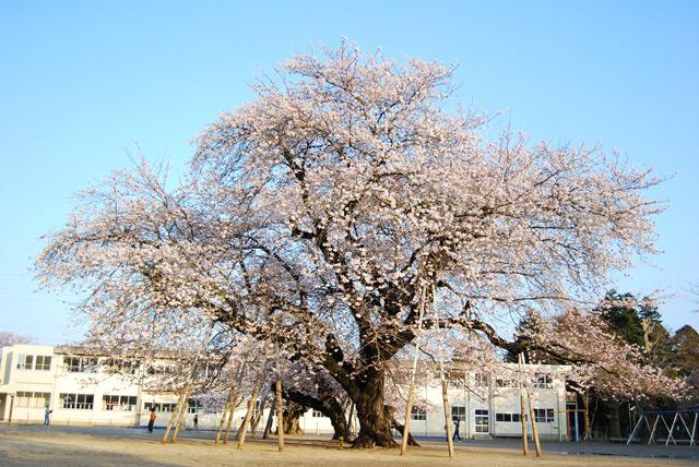 土浦近辺のおススメ桜